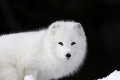 Arctic Fox. Portrait of Arctic Fox with dark background Stock Photo