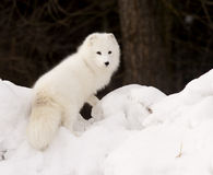 Arctic Fox. On snow hill Stock Image