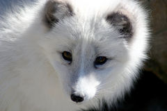 Arctic Fox. This is an image of an arctic fox Royalty Free Stock Photography