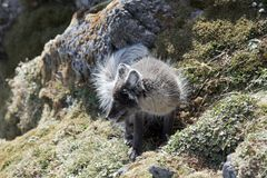 Arctic fox royalty free stock photography