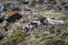 Arctic fox. In his habitat (Arctic, Spitsbergen Royalty Free Stock Images