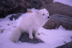 Arctic fox. Sitting on rock, Canadian North Stock Photo