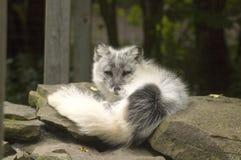 Arctic Fox. Sunning itself on the rocks Royalty Free Stock Image