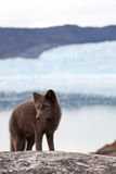 Arctic Fox. An arctic Fox in front of the famous Eqi glacier in Greenland Royalty Free Stock Photography