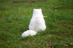 Arctic fox. White mammal shot Royalty Free Stock Image