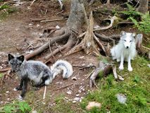 Arctic fox 2. Two arctic foxes pose for the camera Royalty Free Stock Photography