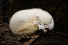 Arctic Fox. Snoozing arctic fox on a log Stock Photos