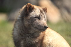 Arctic fox. The detail of upper body of arctic fox Royalty Free Stock Photography