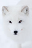 Arctic Fox. High resolution image of an Arctic Fox Royalty Free Stock Image
