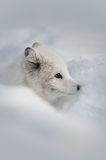Arctic Fox. An Arctic Fox sniffing a snow bank for the scent of prey, or an intruder Royalty Free Stock Photo