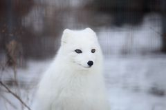 Arctic fox. Snapshot of arctic fox when travelling at zoo Stock Photo