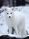 Arctic fox. Snapshot of arctic fox when travelling at zoo Stock Image