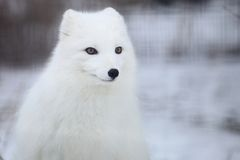 Arctic fox. Snapshot of arctic fox when travelling at zoo Royalty Free Stock Photos
