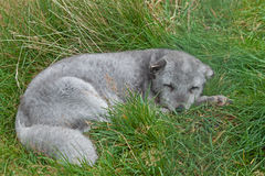 Arctic Fox. An Arctic Fox resting on grass Stock Photos