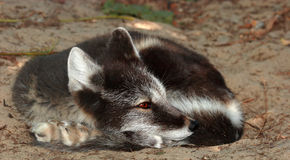 Arctic Fox. A sleepy Arctic Fox with his summer fur Stock Images