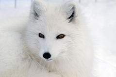 Arctic Fox. Close-up picture of an Arctic Fox Royalty Free Stock Photography