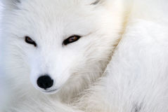 Arctic Fox Stock Photos