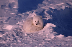 Arctic fox. In his winter coat. Canadian Arctic Stock Photos