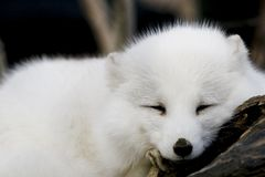 Arctic Fox. An arctic fox taking a nap Royalty Free Stock Photography