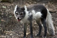 Arctic Fox. An arctic fox shedding his winter coat stock image