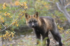 Arctic Fox. This picture was taken in Denali National Park Stock Photos