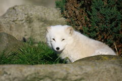 Arctic fox Royalty Free Stock Photography
