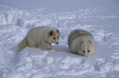 Arctic Fox. Two arctic foxes with winter coat hunting together in snow Royalty Free Stock Photography