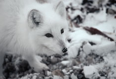Arctic fox. Head shot of Arctic fox. Canadian Arctic Stock Photos