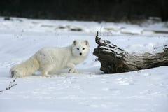 Free Arctic Fox, Alopex Lagopus Stock Photos - 34412253