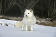 Free Arctic Fox, Alopex Lagopus Royalty Free Stock Photography - 34412267