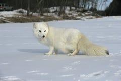 Free Arctic Fox, Alopex Lagopus Royalty Free Stock Images - 34412309