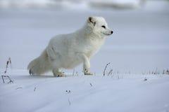 Free Arctic Fox, Alopex Lagopus Royalty Free Stock Photos - 34412338