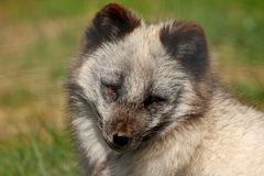 ARCTIC FOX - Alopex lagopus Royalty Free Stock Images