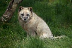 ARCTIC FOX - Alopex lagopus Stock Image