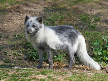 Arctic Fox (Alopex Lagopus). Arctic Fox resting in its habitat at summertime Royalty Free Stock Photos