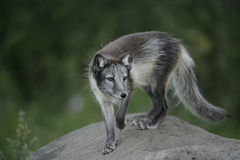 Arctic fox, Alopex lagopus Royalty Free Stock Photography