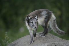 Arctic fox, Alopex lagopus Royalty Free Stock Photography