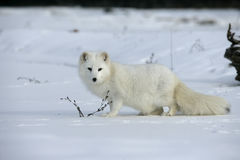 Arctic fox, Alopex lagopus Royalty Free Stock Photo