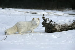 Arctic fox, Alopex lagopus Stock Photos