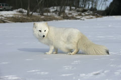 Arctic fox, Alopex lagopus Royalty Free Stock Images