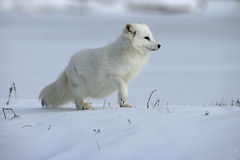 Arctic fox, Alopex lagopus Royalty Free Stock Photos