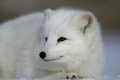 Arctic fox, Alopex lagopus Stock Images