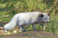 Arctic Fox (Alopex Lagopus) Royalty Free Stock Photography