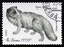 Arctic Fox - Alopex lagopus or Vulpes lagopus, circa 1980 Royalty Free Stock Images