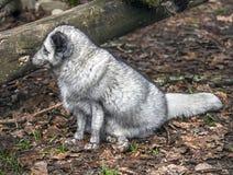 Arctic fox 4. Arctic fox. Latin name - Vulpes lagopus stock photos