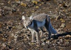 Arctic fox in Arctic summer Royalty Free Stock Photo