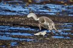 Arctic fox in Arctic summer Stock Photos