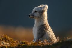 Arctic fox In a autumn landscape. Arctic fox in a beautiful autumn setting in the mountains of Norway stock image