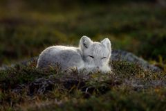 Arctic fox In a autumn landscape. Arctic fox young in a autumn setting with beautiful colours in a mountian landscape royalty free stock photos