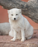 Arctic Fox. Baby Arctic fox (Vulpes lagopus) standing on rock slab Royalty Free Stock Image